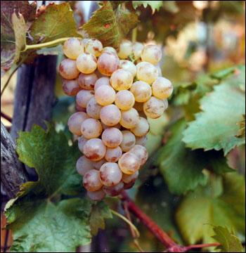 Pigato tigullio vino